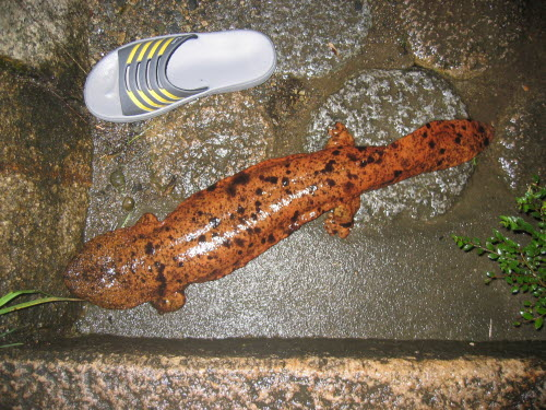 60cm long salamander in Minoh, June 8, 2006