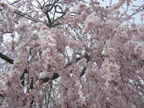 Cherry blossom in Kyoto, April 6, 2005