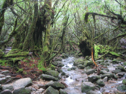 Forest in Yakushima, Dec 5, 2004