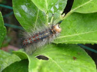 Hairy catapillar on lemon tree